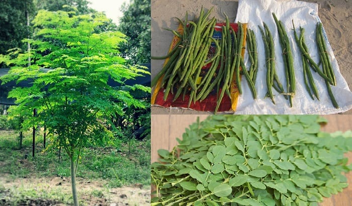moringa trees and leaves have many benefits